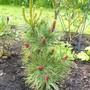 Pinus parviflora 'Bergman' (pinus parviflora)