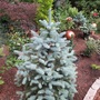 Picea pungens Baby blue (picea pungens)