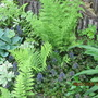 Ajuga and Ferns
