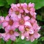 Bergenia cordifolia (Bergenia cordifolia)