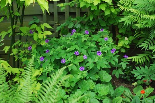 Hardy Geranium Blueberry Ice.... (Geranium nodosum Blueberry Ice.)