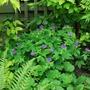 Geranium nodosum Blueberry Ice.