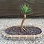 Dagger Plant (Yucca aloifolia (Dagger Plant))