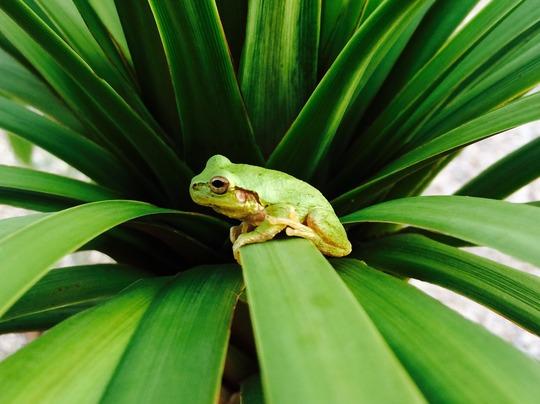Tree Frog (Cordyline australis (New Zealand cabbage palm))