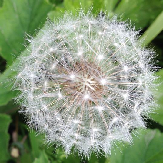 Flowering dandelion - in grass in my garden