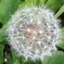 Flowering dandelion - in grass in my garden