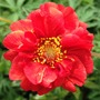 Geum - wonderful colour in my garden