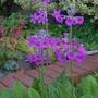 Primula pulverulenta - 2016 (Primula pulverulenta)