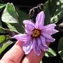 Japanese Egg Plant in flower.