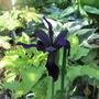 Iris Chrysographes (Iris chrysographes)