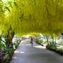 Laburnum Arch Bodnant Gardens