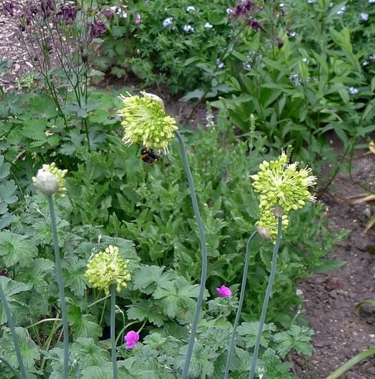 Allium obliquum - 2016 (Allium obliquum)