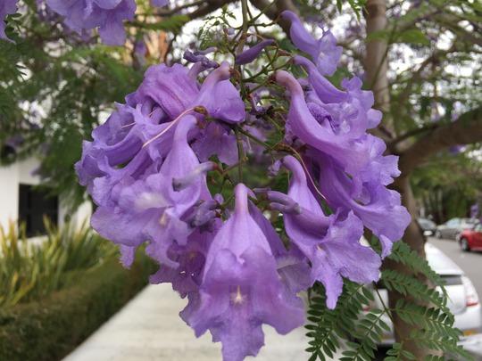 Jacaranda mimosafolia - Jacaranda Tree Flowers (Jacaranda mimosafolia - Jacaranda Tree Flowers)