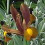 Dutch Iris