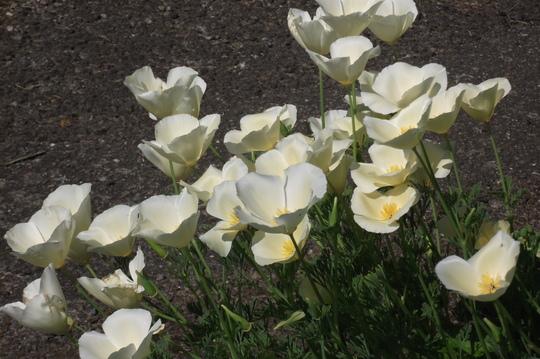 Cream California Poppy