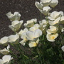Cream California Poppy
