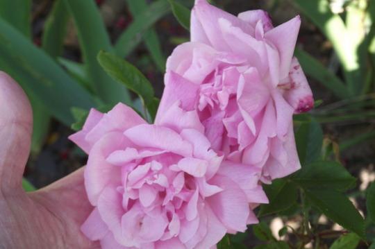 Rose Old Blush China (Rosa)
