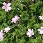 Geranium Rebecca Moss (geranium  x oxonianum)
