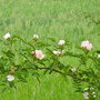 How many of you grow wild rose in their garden?