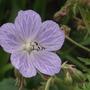 Geranium Mrs Kendall Clarke (Geranium pratense (Meadow cranesbill))
