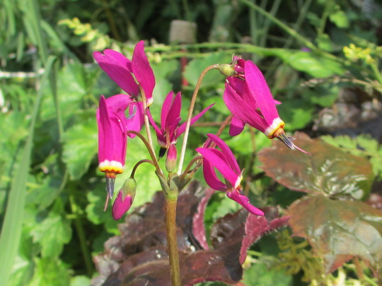 Dodecatheon 'Red Wings' (Dodecatheon meadia)