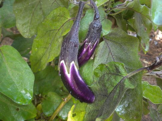 Eggplants Fruit - (Solanum melongena 'Ichiban') (Solanum melongena (Aubergine))