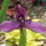 Purple Roscoea  (Roscoea humeana)