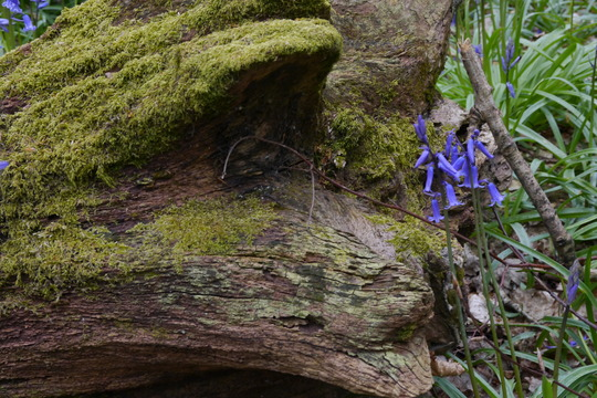 Mossy log with bluebell