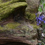 Mossy_log_with_bluebell