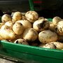 Potatoes_galore