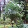 philadelphus (Magnolia)