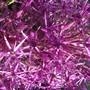 Rain drops (Allium Christii)