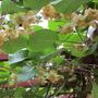 Actinidia deliciosa (Kiwi fruit)
