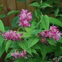 Deutzia Strawberry Fields (Deutzia gracilis Strawberry Fields.)