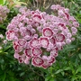 Kalmia_latifolia_minuet_close_up_2016