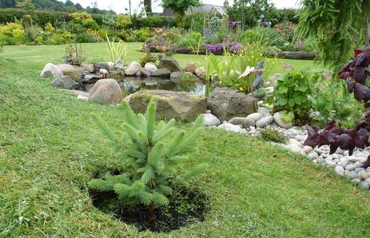 Picea pungens 'Super Blue' - Colorado Blue Spruce