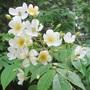 Rosa brunonii  (Rosa brunonii)