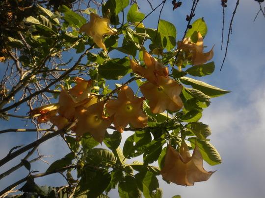 Angel's Trumpets Flowering (Angel's Trumpets)