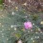 Curryplant .  Helichrysum  (Helichrysum)