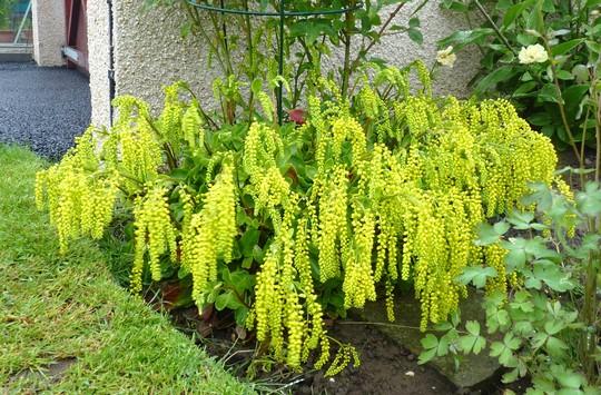 For Homebird...Chiastophyllum oppositifolium