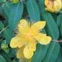 Hypericum (Hypericum)
