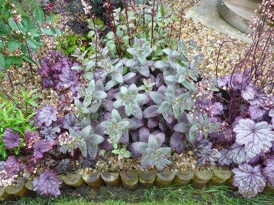Sedum 'Purple Emperor' (Sedum telephium (Sedum))