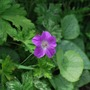 HG Orientali -tibeticum....with Jesters Jacket foliage. (Geranium orientalitibeticum)