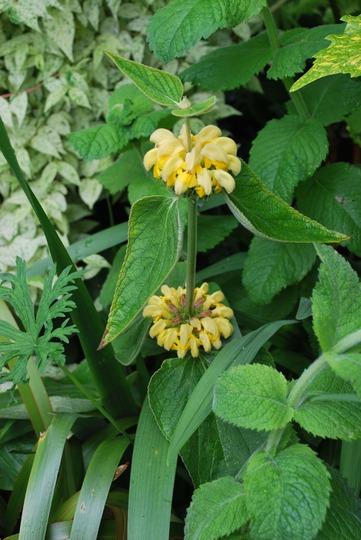 Phlomis (Phlomis fruticosa (Jerusalem sage))