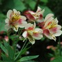 Alstroemeria.....Friendship. (Alstroemeria aurea (Peruvian lily)Lutea..)