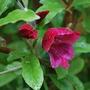 Gladiolus papilo Ruby..... (Gladiolus papilio (Goldblotch Gladiolus))