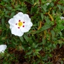 Cistus_x_dansereaui_decumbens_close_up_2016