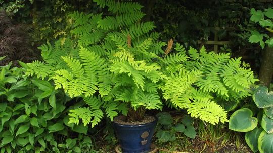 Royal Fern  (Osmunda regalis (Flowering fern))