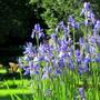 Siberian Iris and yellow swallowtail
