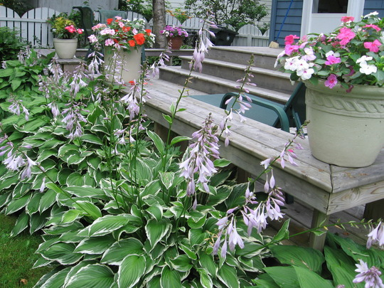 hosta in bloom (Hosta undulata)